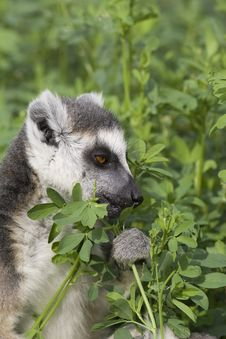 Free Ring-tailed Lemur Royalty Free Stock Photography - 14011937