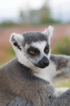 Free Ring-tailed Lemur Royalty Free Stock Photos - 14012028