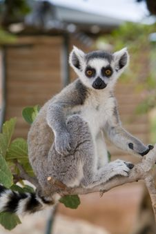 Free Ring-tailed Lemur Royalty Free Stock Photography - 14012207