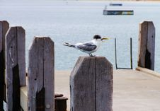Free Sea Gull Stock Image - 14012331