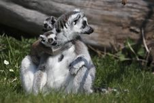 Free Ring-tailed Lemur With Two Juveniles Royalty Free Stock Photography - 14013707