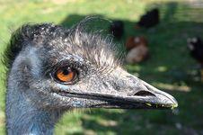 Free Emu Portrait Royalty Free Stock Photos - 14015618
