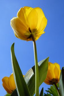 Free Yellow Tulip Against Blue Sky Royalty Free Stock Image - 14016656