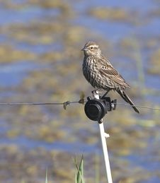Small Sparrow. Stock Photos