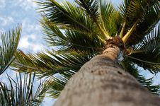 Free Sunny Palm Tree Royalty Free Stock Photo - 14017065