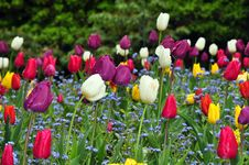 Colorful Tulips With Raindrops Royalty Free Stock Images