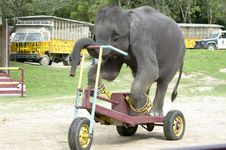Free Elephant Cycling Stock Photography - 14018362