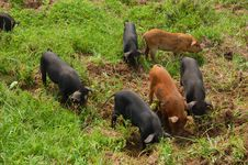 Free Piglets Stock Photo - 14019080