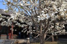 Summer Palace Magnolia Royalty Free Stock Photo