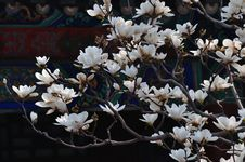 Free Summer Palace Magnolia Flower Stock Photography - 14019142