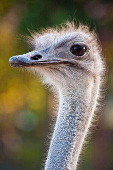 Free Ostrich Royalty Free Stock Images - 14019319