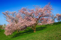 Free Blossoming Tree Royalty Free Stock Photography - 14023167