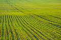 Free Young Crops Stock Photography - 14026692