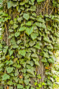Free Ivy On A Tree Royalty Free Stock Photography - 14026897