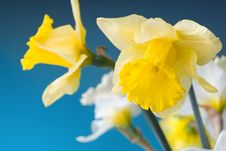 Free Yellow And White Narcissus On Blue Royalty Free Stock Image - 14020766