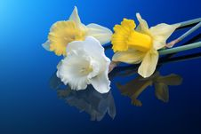 Free White And Yellow Narcissus On Blue Stock Images - 14020804