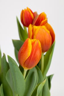 Free Three Tulips Royalty Free Stock Image - 14021496