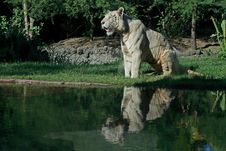 Free White Tiger Reflection Stock Image - 14021511