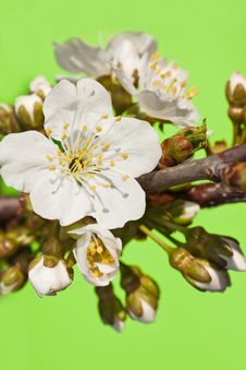 White Flowers With Kidneys Of A Sweet Cherry Royalty Free Stock Images