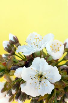 Free White Flowers Of A Sweet Cherry On With A Place Fo Royalty Free Stock Image - 14022416