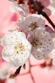 White Flowers Of A Branch Of An Apricot On A Pink Royalty Free Stock Photography