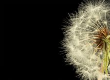 Free Dandelion Close Up Royalty Free Stock Photo - 14022495