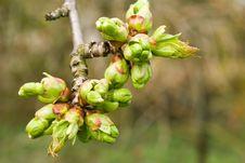 Free Cherry Blossom. Stock Image - 14022721