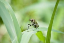Free Robber Fly Royalty Free Stock Image - 14022796