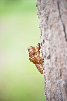 Shell Of Cicada Stock Image