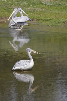Mirroring Pink-backed Pelicans Stock Images