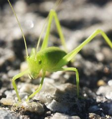 Free Tiny Grasshopper On A Tar Road Stock Image - 14025371