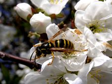Free Wasp And Blossom Tree Royalty Free Stock Image - 14025476