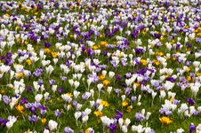 Free Colourful Crocusses Royalty Free Stock Photos - 14026148