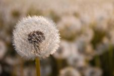 Free Dandelion Stock Photo - 14026280