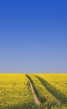 Free Summer Rape Field Royalty Free Stock Image - 14026456