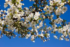 Free White Cherry Blossom Stock Photography - 14026712
