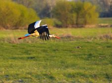 Free Stork On Swamp Stock Photography - 14026722