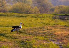 Free Stork On Swamp Royalty Free Stock Photos - 14026728