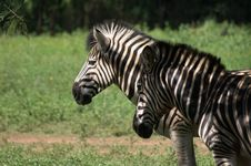Free Zebras Royalty Free Stock Photos - 14027118