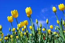 Free Yellow Tulips And Sky Royalty Free Stock Photography - 14027137