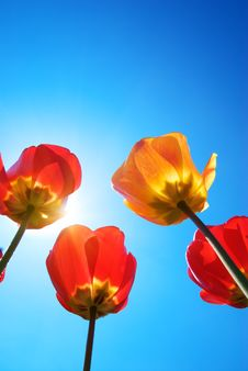 Free Tulips And Deep Blue Sky Royalty Free Stock Images - 14027159