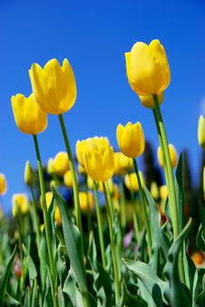 Free Yellow Tulips And Sky Stock Image - 14027181