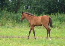Brown Foal Stock Images