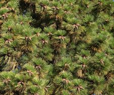 Pine Cones On Pine Needles Stock Photos