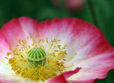 Free Closeup Of Full Bloom Pink Flower Stock Image - 14028541
