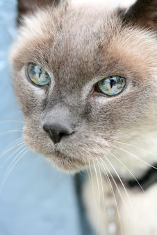Free Blue Eyed Cat Royalty Free Stock Images - 14028839