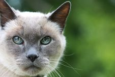 Free Blue Eyed Cat On Green Royalty Free Stock Images - 14028859
