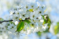 Free Cherry Flowers Royalty Free Stock Photo - 14029145