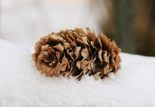 Free Pine Cone Royalty Free Stock Photography - 14029687