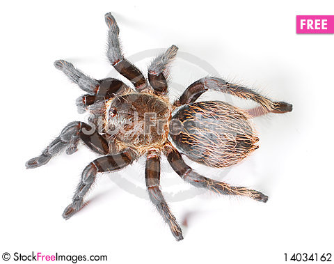 Free Spider Stock Photography - 14034162